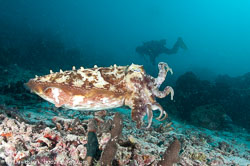Cuttlefish and Octopuses and Squid